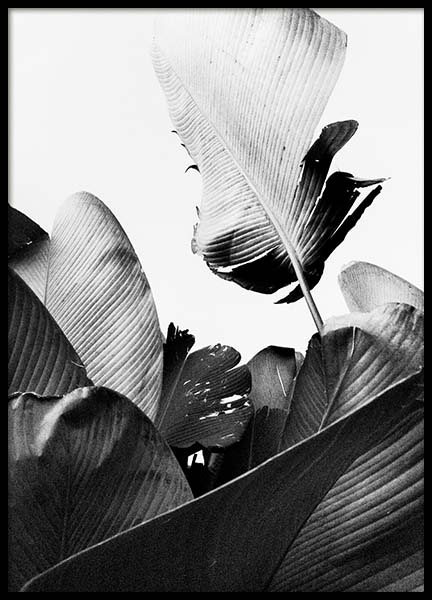 B&W Banana Leaves No2 Poster in the group Posters & Prints / Botanical at Desenio AB (10064)
