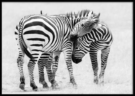 Zebra Love Poster in the group Posters & Prints / Black & white at Desenio AB (10398)
