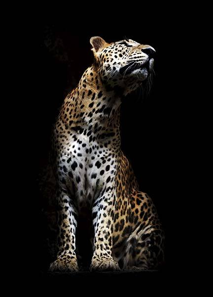 Leopard In Light Poster in the group Posters & Prints / Insects & animals at Desenio AB (10404)