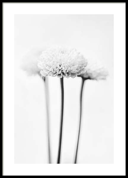White Chrysanthemums Poster in the group Posters & Prints / Black & white at Desenio AB (10421)