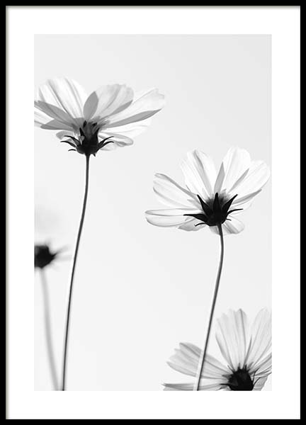 White Cosmos Flowers Poster in the group Posters & Prints / Black & white at Desenio AB (10422)