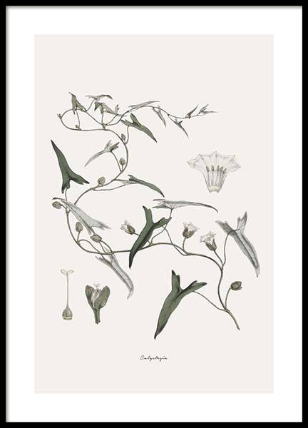 Calystegia Poster in the group Posters & Prints / Vintage at Desenio AB (10552)