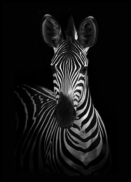 Zebra on Black Poster in the group Posters & Prints / Black & white at Desenio AB (10618)