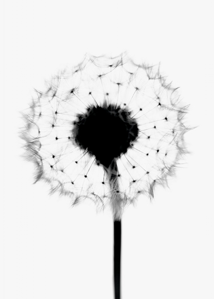 Soft Dandelion Poster in the group Posters & Prints / Botanical at Desenio AB (11182)