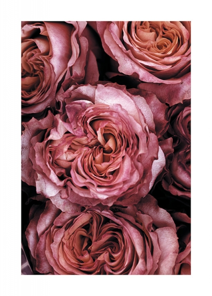 Roses Close Up Poster in the group Posters & Prints / Sizes / 50x70cm | 20x28 at Desenio AB (11185)