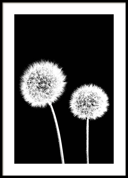 Dandelions Black Poster in the group Posters & Prints / Botanical at Desenio AB (11218)