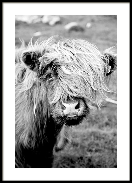 Portrait of Highland Cattle Poster
