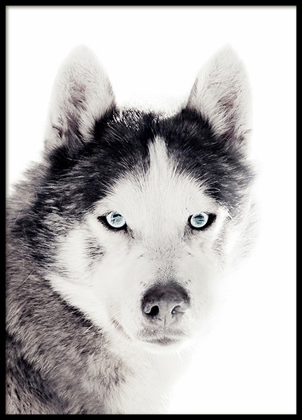 Husky Poster in the group Posters & Prints / Insects & animals at Desenio AB (11551)