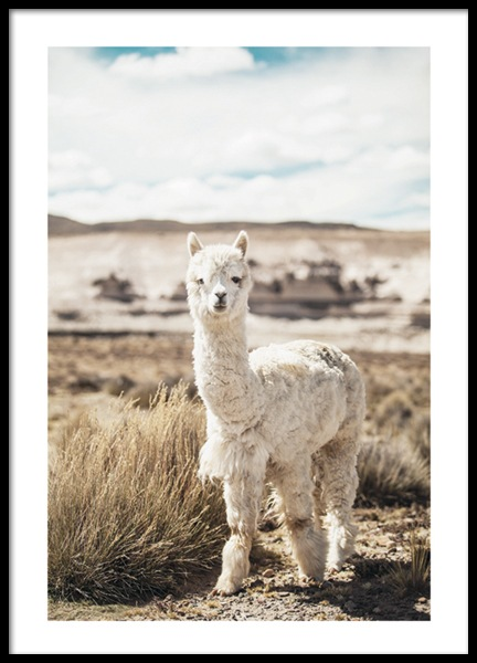 Curious Alpaca Poster in the group Posters & Prints / Photography at Desenio AB (11670)