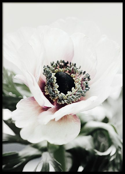 White Anemone Flower Poster in the group Posters & Prints / Photography at Desenio AB (11787)