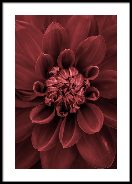 Red Dahlia Poster in the group Posters & Prints / Photography at Desenio AB (11790)