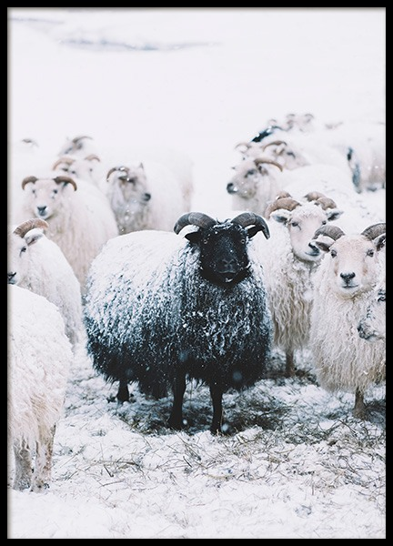 Black Sheep Poster in the group Posters & Prints / Photography at Desenio AB (11851)