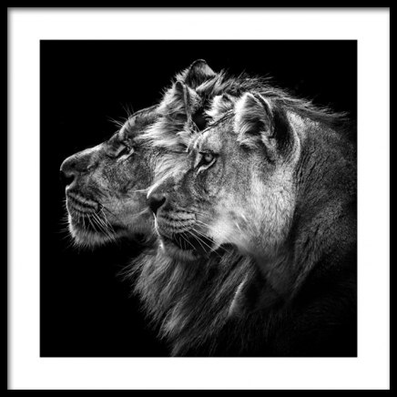 Lions Poster in the group Posters & Prints / Insects & animals at Desenio AB (11856)