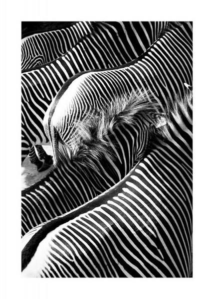 Zebra Herd Poster in the group Posters & Prints / Insects & animals at Desenio AB (11951)