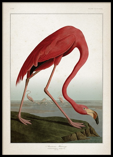 American Flamingo Poster in the group Posters & Prints / Insects & animals at Desenio AB (12170)