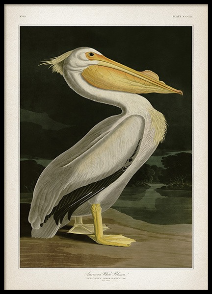 American White Pelican Poster in the group Posters & Prints / Vintage at Desenio AB (12171)