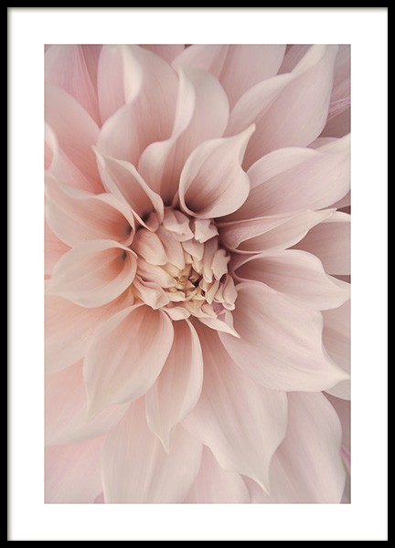 Pink Dahlia Poster in the group Posters & Prints / Botanical at Desenio AB (12261)
