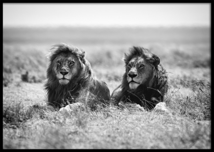 The Lion Kings Poster in the group Posters & Prints / Black & white at Desenio AB (12303)