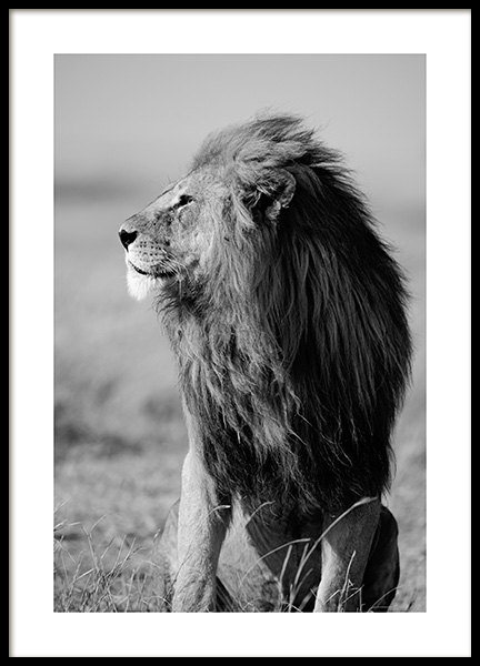 Lion in the Wild Poster in the group Posters & Prints / Black & white at Desenio AB (12304)