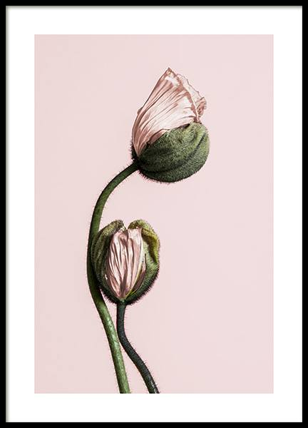 Pink Poppy Buds No1 Poster in the group Posters & Prints / Botanical at Desenio AB (12316)