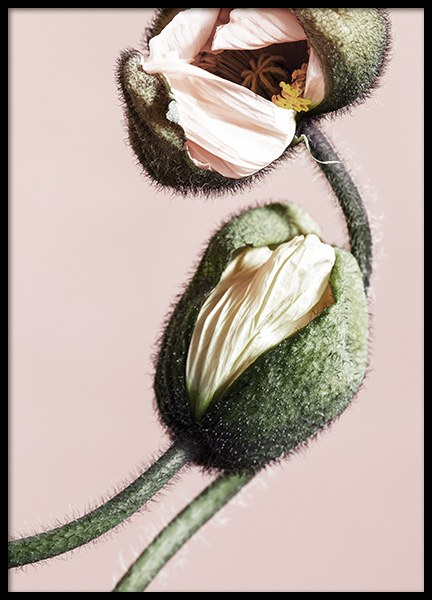 Pink Poppy Buds No2 Poster in the group Posters & Prints / Botanical at Desenio AB (12317)