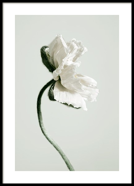 White Poppy Flower Poster in the group Posters & Prints / Botanical at Desenio AB (12318)