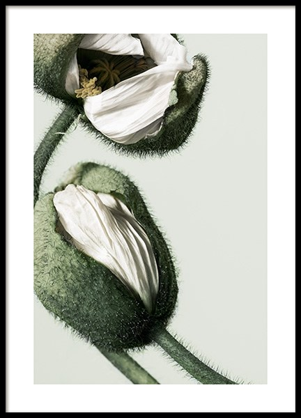 White Poppy Buds Poster in the group Posters & Prints / Photography at Desenio AB (12320)