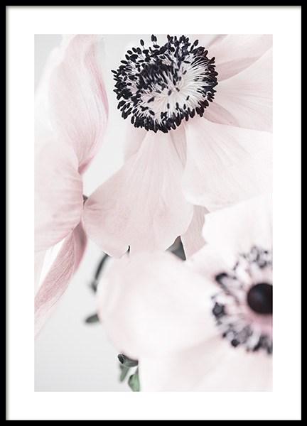 Blushing Anemone Poster