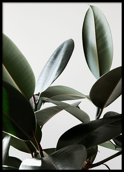 Rubber Plant No1 Poster in the group Posters & Prints / Photography at Desenio AB (12910)