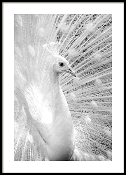 B&W Peacock Poster in the group Posters & Prints / Black & white at Desenio AB (13135)