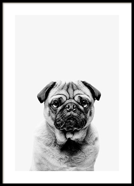 Black and White Pug Poster in the group Posters & Prints / Insects & animals at Desenio AB (13864)