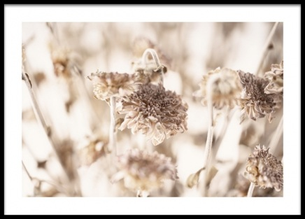 Dried Daisies Poster in the group Posters & Prints / Botanical / Flowers at Desenio AB (13953)