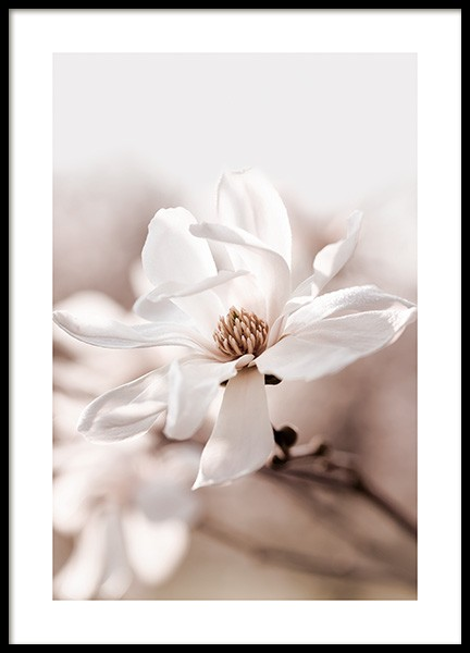 Star Magnolia Blossom Poster in the group Posters & Prints / Botanical / Flowers at Desenio AB (14097)