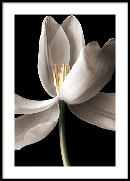 White Tulip Poster in the group Posters & Prints / Botanical / Flowers at Desenio AB (14105)