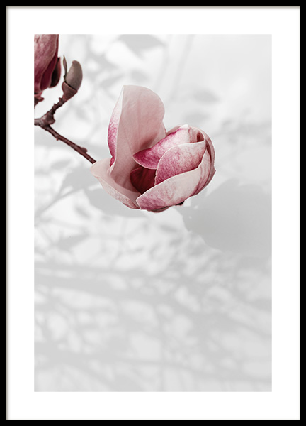 Magnolia Petals Poster in the group Posters & Prints / Botanical / Flowers at Desenio AB (14110)