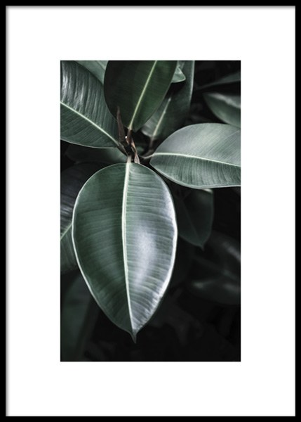 Ficus Leaves Poster in the group Posters & Prints / Botanical / Green plants at Desenio AB (14728)
