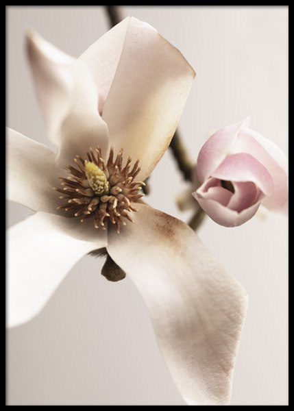 Magnolia Close Up No1 Poster in the group Posters & Prints / Botanical / Flowers at Desenio AB (14733)