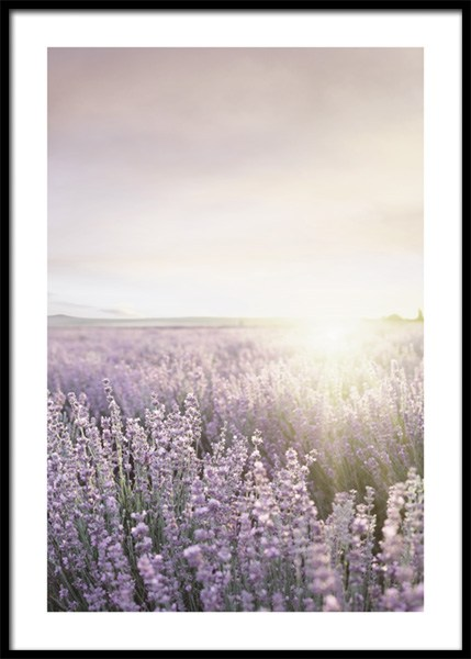 Lavender Field Poster in the group Posters & Prints / Nature / Landscapes at Desenio AB (14835)