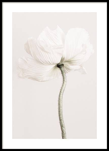 Pale Poppy Poster
