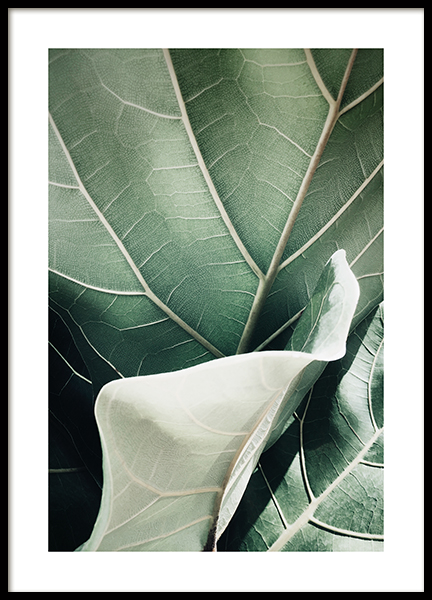 Fiddle-leaf Fig Poster