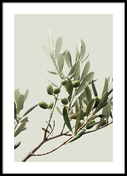 Sunny Olive Branch Poster