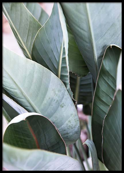 Strelitzia Leaf  Poster