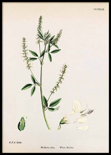 Melilotus Albus Poster in the group Posters & Prints / Vintage at Desenio AB (2278)