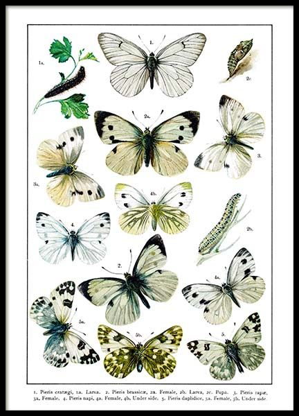 White Garden Butterflies Poster in the group Posters & Prints / Insects & animals at Desenio AB (2282)