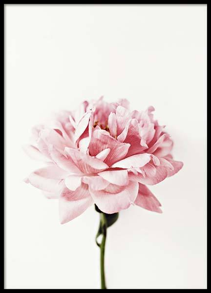 Pink Peony Poster in the group Posters & Prints / Photography at Desenio AB (2291)