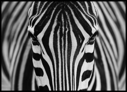 Stripes Poster in the group Posters & Prints / Insects & animals at Desenio AB (2318)