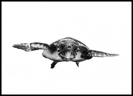 White And Turtle Poster in the group Posters & Prints / Black & white at Desenio AB (2321)