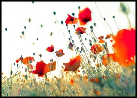 Poppy Field Poster in the group Posters & Prints / Nature at Desenio AB (2412)