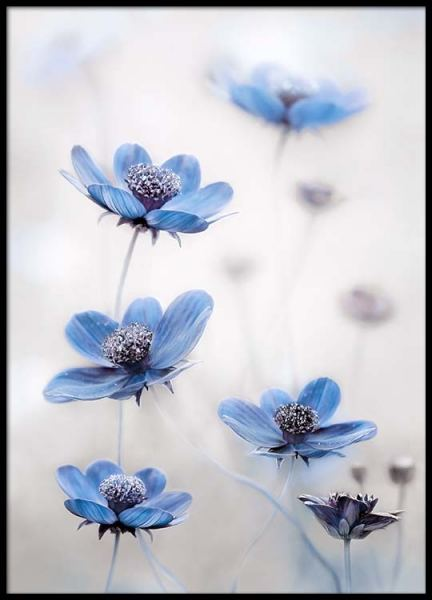 Cosmos Blue Poster in the group Posters & Prints / Botanical at Desenio AB (2536)