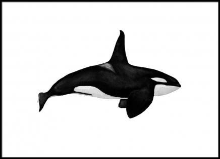 Killer Whale Poster in the group Posters & Prints / Black & white at Desenio AB (2542)